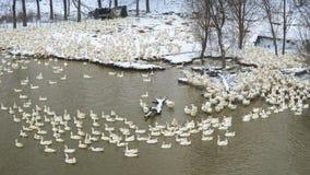 Um rebanho dos gansos brancos na neve no inverno fotografia de stock royalty free