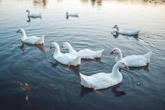 Um rebanho dos gansos domésticos brancos que nadam no lago na noite O ganso cinzento domesticado é aves domésticas usadas para a  Fotografia de Stock