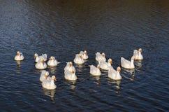 Um rebanho dos gansos que flutuam no rio no sol de ajuste para o fotógrafo Fotografia de Stock Royalty Free