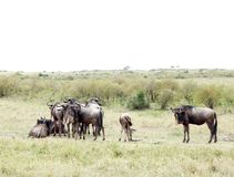 Um rebanho dos gnu no savana Imagens de Stock Royalty Free
