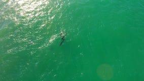 Um rebanho dos golfinhos que nadam no mar Fotos de Stock Royalty Free