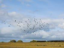 Um rebanho dos pássaros contra um céu nebuloso fotografia de stock