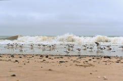 Um rebanho dos pássaros na praia, gaivotas no tempo nebuloso Foto de Stock Royalty Free