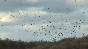 Um rebanho dos pássaros no campo video estoque