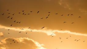 Um rebanho dos pássaros no por do sol Fotografia de Stock