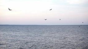 Um rebanho dos pássaros que voam no horizonte de mar no por do sol sobre a água constante sem ondas vídeos de arquivo
