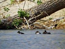 Um rebanho dos patos no lago surge imagens de stock