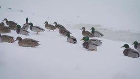 Um rebanho dos patos sai da lagoa à costa filme