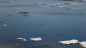 Um rebanho dos patos selvagens que nadam no rio ap?s o inverno Os patos nadam na ?gua de gelo do inverno fotos de stock