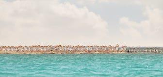 Um rebanho dos pelicanos cor-de-rosa que descansam em um cuspe do mar fotografia de stock