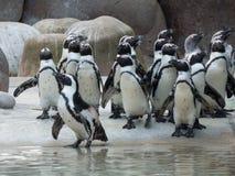 Um rebanho dos pinguins antes de alimentar foto de stock