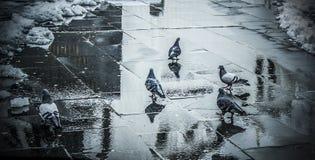 Um rebanho dos pombos imagens de stock royalty free