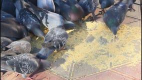 Um rebanho dos pombos vídeos de arquivo