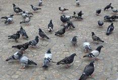 Um rebanho dos pombos Fotos de Stock