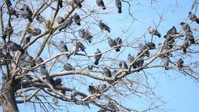 Um rebanho dos pombos na árvore video estoque