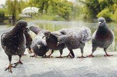 Um rebanho dos pombos no parque na chuva imagens de stock