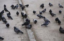 Um rebanho dos pombos no pavimento fotografia de stock royalty free