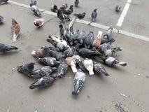 Um rebanho dos pombos urbanos que bicam o painço imagens de stock royalty free