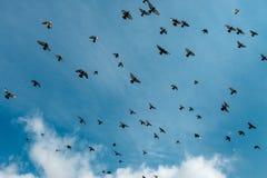 Um rebanho dos pombos voa através do céu contra um fundo das nuvens brancas Imagens de Stock