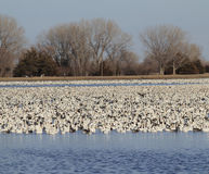 Gansos de neve no lago Foto de Stock