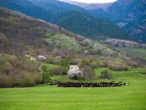 Um rebanho enorme dos carneiros selvagens que pastam em um prado nos montes das montanhas fotografia de stock