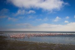 Um rebanho enorme dos flamingos cor-de-rosa elegantes que procuram moluscos nas águas frias do Oceano Atlântico fotografia de stock