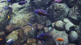 Um rebanho lentamente de flutuar peixes azuis no aquário molha vídeos de arquivo