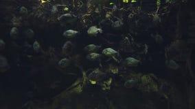 Um rebanho lentamente de flutuar peixes redondos cinzentos entre plantas aquáticas em um aquário filme