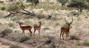 Um rebanho pequeno do antílope no Masai mara imagens de stock