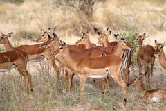 Um rebanho pequeno do antílope no Masai mara fotos de stock