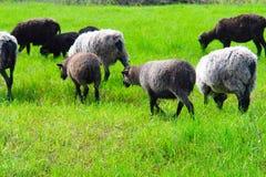 Um rebanho pequeno dos carneiros que pastam imagem de stock