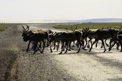 Um rebanho selvagem do caribu que cruza a estrada imagem de stock royalty free