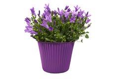 Flores do roxo do Campanula fotografia de stock