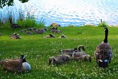 Um recolhimento de famílias dos gansos de Canadá do juvenil fotografia de stock royalty free