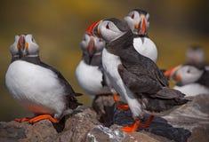 Um recolhimento dos papagaio-do-mar imagens de stock royalty free