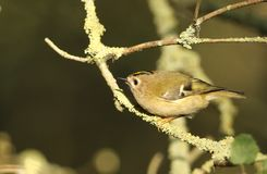Um regulus impressionante do Regulus do pássaro de Goldcrest empoleirou-se em um ramo que procura por insetos para comer Imagem de Stock