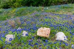 Um remendo de Texas Bluebonnets imagens de stock