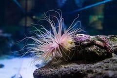 Um residente das profundidades subaquáticas de que você pode ver no oceanarium fotografia de stock royalty free