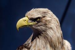 Um retrato da águia Imagens de Stock