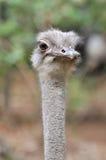 Um retrato da avestruz Imagem de Stock