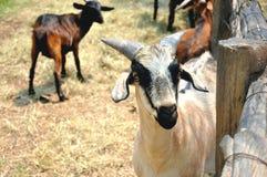 Um retrato da cabra na exploração agrícola Imagem de Stock