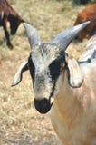 Um retrato da cabra na exploração agrícola Imagens de Stock Royalty Free