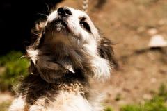 Um retrato de um cachorrinho adorável que olha para cima O cão branco da fúria que escuta provisoriamente o proprietário Domestic imagem de stock