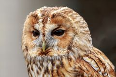Um retrato de Tawny Owl fotografia de stock
