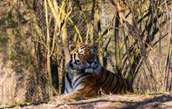 Um retrato de um tigre imagens de stock