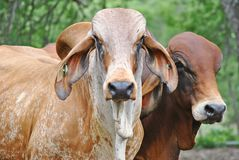 Um retrato de 2 touros Imagens de Stock Royalty Free