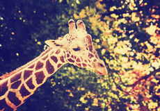 Um retrato de um girafa bonito em um jardim zoológico tonificou com um vint retro Foto de Stock
