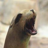 Um retrato de um leão de mar de Califórnia Fotografia de Stock Royalty Free