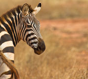 Um retrato de um Plain´s ou de uma zebra comum Fotos de Stock