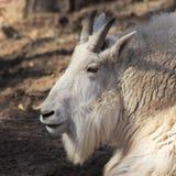 Um retrato de uma cabra de montanha, Oreamnos americano Fotos de Stock
